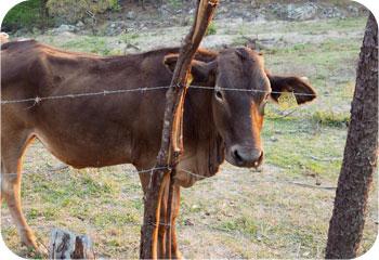 NPH Honduras Cow