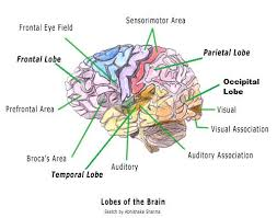 Introduction to Neuroanatomy  Physiopedia