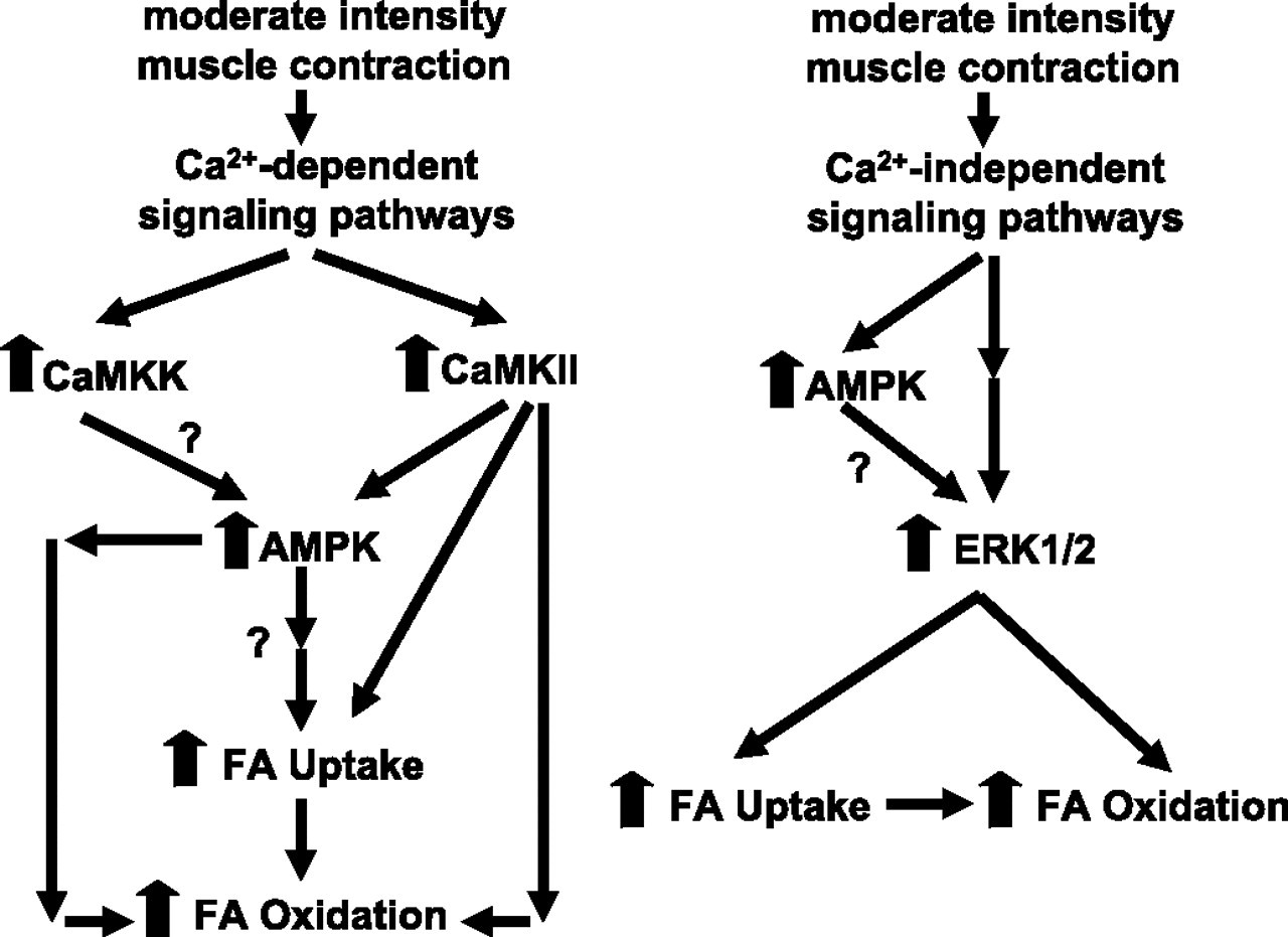 Evidence For The Involvement Of Camkii And Ampk In Ca2