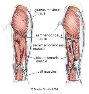 Anatomy of hamstring injury