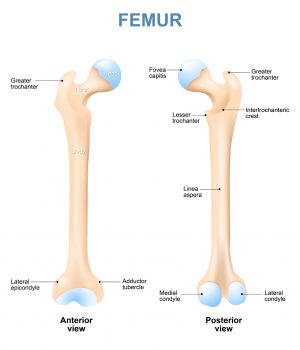 human femur with front and side view. Labeled. Detailed medical illustration. Isolated on a white background