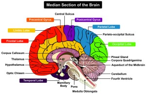 Cerebellum and cognition in multiple sclerosis: the fall status matters – Physiospot
