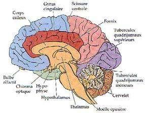 Coupe du cerveau et ses composantes