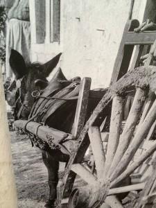 Das Pferdegeschirr sichert die Verbindung zwischen Zugtier und Karren. (Historisches Foto, Quelle unbekannt)