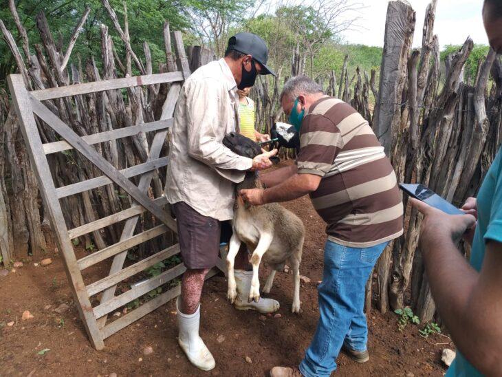 Teste na Regi%C3%A3o de Paulistana 8 Produtores do Território do Vale Itaim testam aplicativo para monitorar ovinos