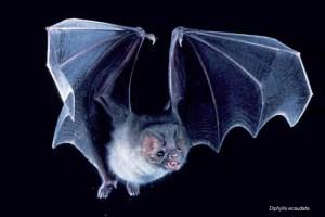 Vampiri-pipistrelli