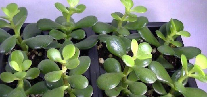 Una pianta in casa che funziona come un magnete per la ricchezza e l'energia positiva. Ecco come