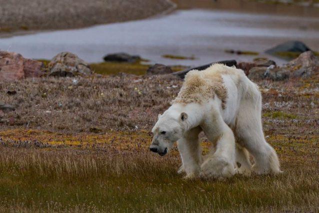 Questo orso polare scheletrico con le zampe atrofizzate è il volto dei cambiamenti climatici