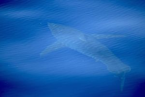 squalo bianco nel Mediterraneo