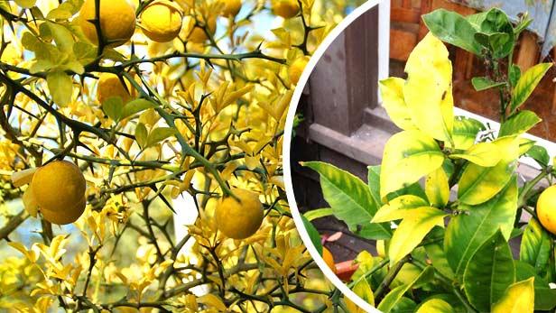 Limone In Vaso Sofferente E Sta Seccando Scopri I Rimedi