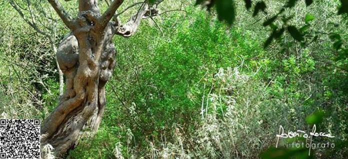 """Un albero di ulivo, nelle campagne di Taurisano, con le sembianze di un crocefisso. """"Prefigurava l'arrivo del batterio killer"""", commenta qualcuno in didascalia alla foto che è del fotografo di Taurisano Roberto Rocca"""