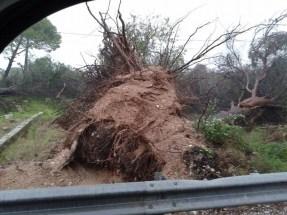 un albero sradicato - foto di Michele Mariano Myboxtv