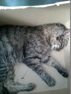 Gattina abbandonata