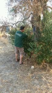 ulivi ivano gioffreda -Spazi Popolari- Agricoltura Organica rigenerativa (5)