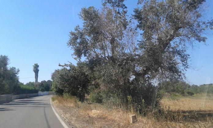ulivi zona fosca tra alezio e matino - agosto 2014 (3)