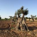 Fase 4: situazione attuale oliveto secolare
