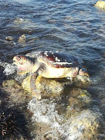 La tartaruga ritrovata nei pressi di Lido Marini