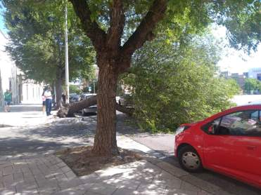 Casarano, l'albero caduto in piazza Umberto I