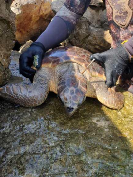 Tartaruga con sub