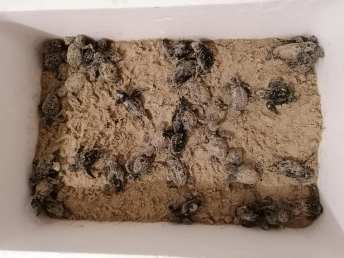 Tartarughine ferme nella sabbia a Torre San Giovanni
