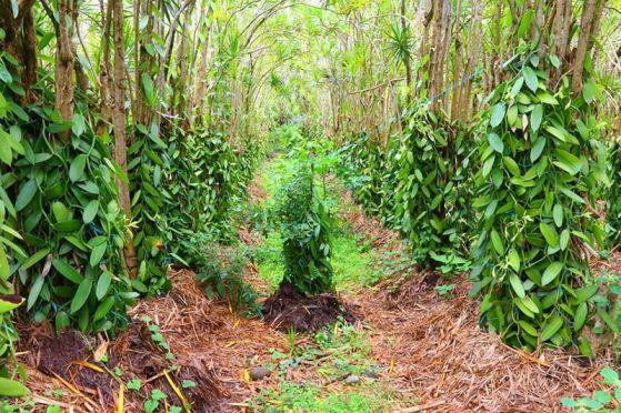 Una piantagione di Vaniglia