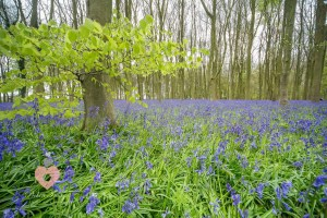 Picture of a swindon woodland covered in bluebells