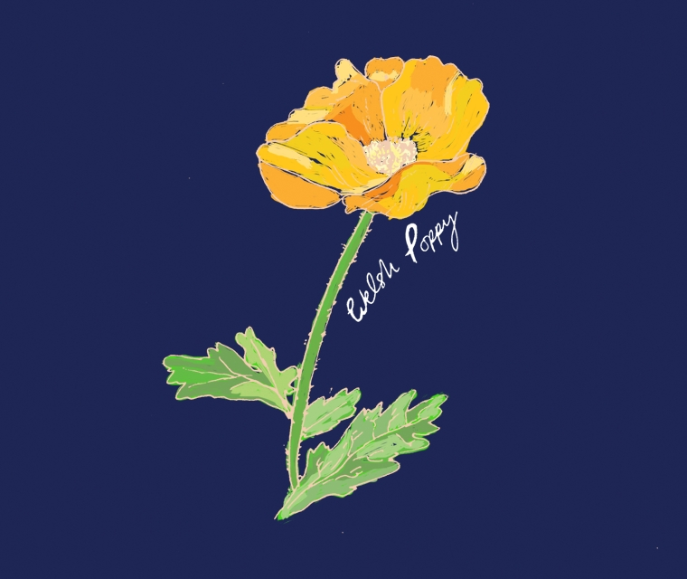 Pickle Design illustrate British Flowers Week with the Welsh Poppy