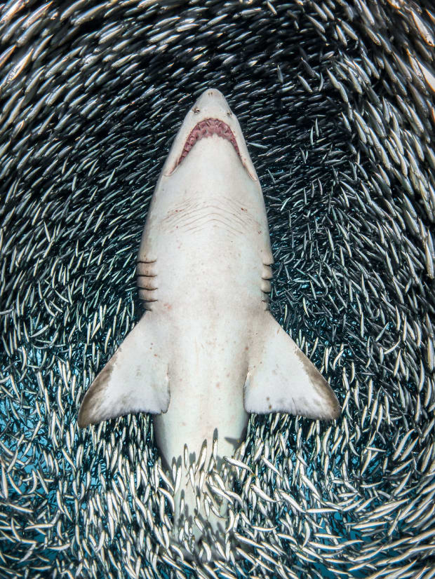 UPY 2018 Portrait - Winner 'A sand tiger shark surrounded by tiny bait fish' - Tanya Houppermans