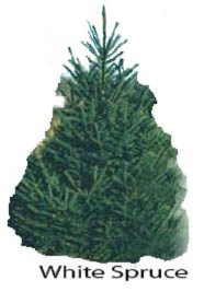 christmas tree varieties photos and information to choose the best - Best Smelling Christmas Tree