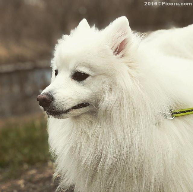 散歩中よだれが〜^_^#日本スピッツ#犬バカ#日本犬#spitz