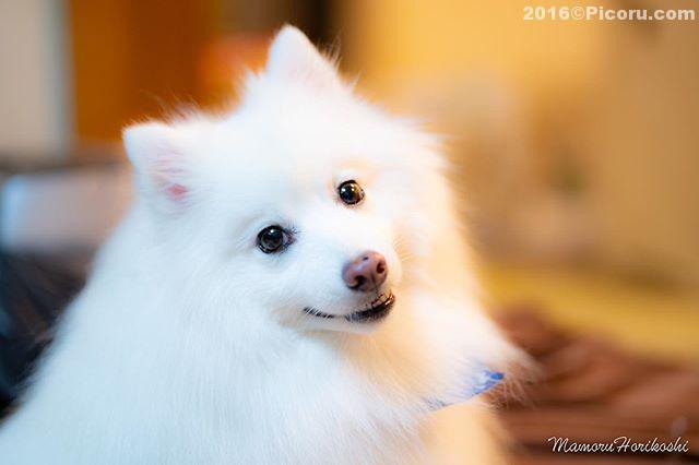 85mm単焦点を買った!なかなか良さげ〜#日本スピッツ#日本犬#スピッツ#犬バカ#犬好きさんと繋がりたい #犬なしでは生きていけません会 #犬と暮らす #犬好きと繋がりたい