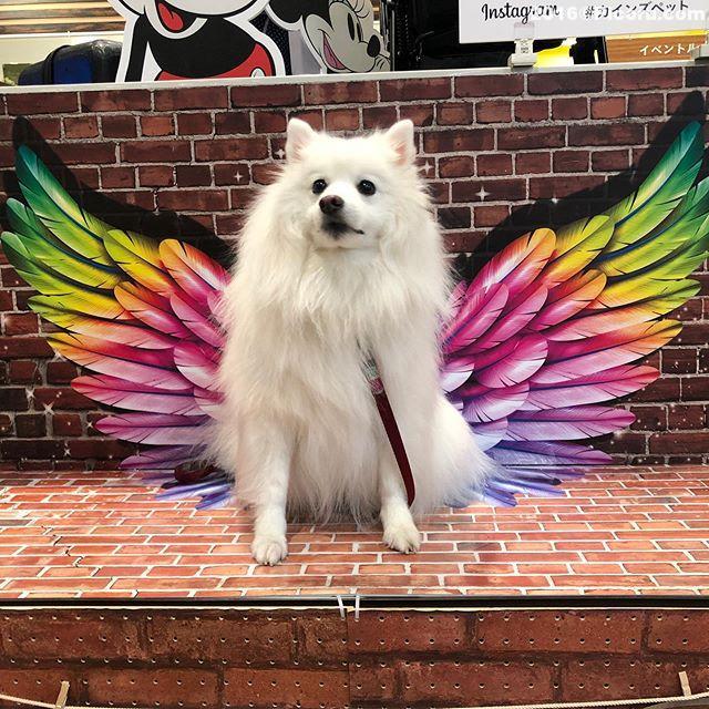 こんなものが!早速撮りました。#カインズペット #日本スピッツ⠀#日本犬⠀#スピッツ⠀#犬バカ⠀#犬好きさんと繋がりたい ⠀#犬なしでは生きていけません会 ⠀#犬と暮らす ⠀#犬好きと繋がりたい