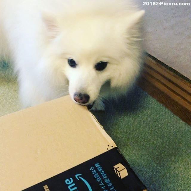 荷物が来ると大興奮のれんくん。箱を破壊します。^_^#オフ会撮影いたします。⠀#日本スピッツ⠀#日本犬⠀#スピッツ⠀#犬バカ⠀#犬好きさんと繋がりたい ⠀#犬なしでは生きていけません会 ⠀#犬と暮らす ⠀#犬好きと繋がりたい