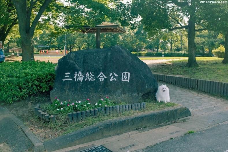 三橋公園で散歩してきました。久しぶりに昼の散歩≡≡≡≡≡≡≡≡≡≡≡≡≡≡≡≡≡⠀⠀フォロー&いいねやコメントは大歓迎です。⠀仕事の依頼もお気軽にDMください。⠀⠀≡≡≡≡≡≡≡≡≡≡≡≡≡≡≡≡≡⠀⠀Follows & likes and comments are welcome.⠀I live in Saitama, Japan.⠀If you have a shooting job, please.⠀⠀≡≡≡≡≡≡≡≡≡≡≡≡≡≡≡≡≡⠀⠀#日本スピッツ⠀#日本スピッツ犬 ⠀#日本スピッツ好きと繋がりたい ⠀#日本スピッツmix ⠀#日本スピッツ大好き ⠀#日本スピッツぐみ ⠀#日本スピッツと暮らす ⠀#日本スピッツと遊ぶ ⠀#日本スピッツlove ⠀#日本犬 ⠀#日本犬大好き ⠀#日本犬部 ⠀#日本犬祭 ⠀#日本犬が好き ⠀#日本犬マニア ⠀#日本犬だいすき⠀#japanesespitz ⠀#japanesespitzinstagram ⠀#japanesespitzdog ⠀#japanesespitzofinstagram #japanesespitzlovers ⠀#japanesespitzlover ⠀#japanesespitzworld