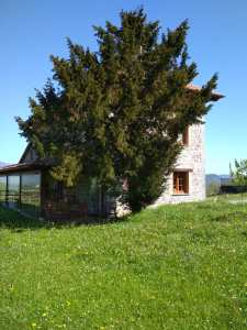 Tejo situado junto a la Casa de Aldea El Conventu del Asturcon, antiguo Convento. (Lago - Parres)