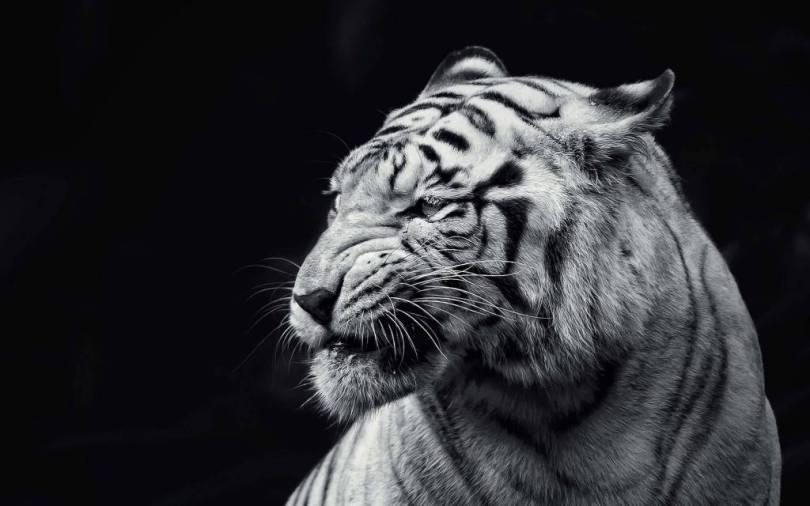 30 Tiger Full 4k Hd Full Hd Wallpaper For Mobile Pc Desktop Etc