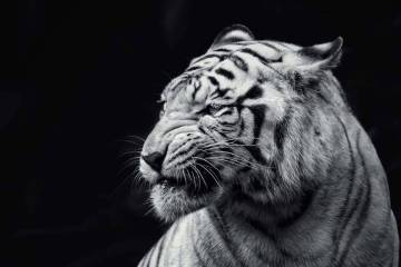 Amazing Black And White Tiger Full HD Wallpaper