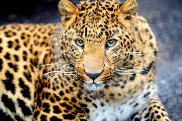 Leopard Wallpaper