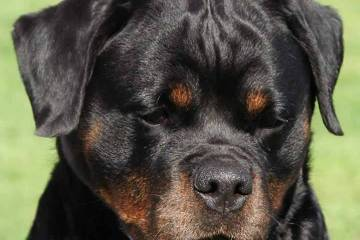 Adorable Rottweiler Dog With Black Eyes
