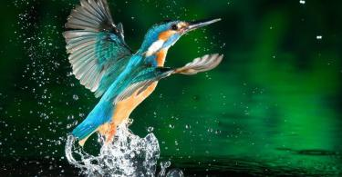 Beautiful Blue Color Bird Flying From The Water