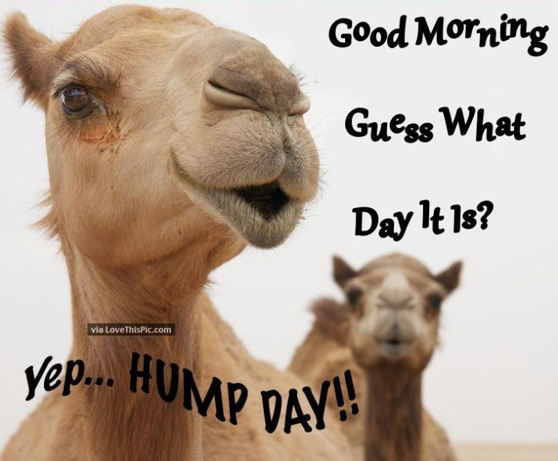Amazing Hump Day Pictures good morning guess what