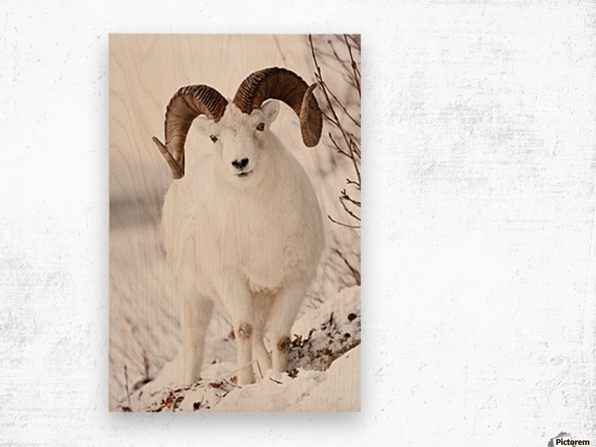 Front View Of A Full Curl Dall Sheep Ram Chugach