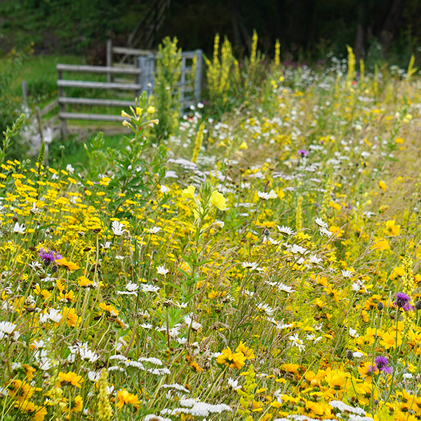 Golden Summer Meadow