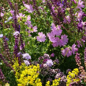 Perennial Meadow Seeds