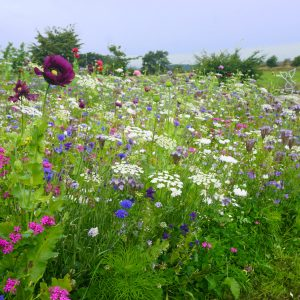Magic Meadows Seed Mix