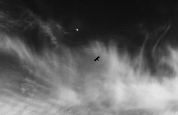 April 8, 2015-Winthrop,MA. A bird soars as the rising moon and clouds frame it.