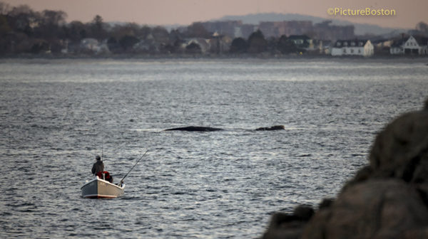 04/21/2016-Swampscott,MA. A Right Whale that has been seen in Nahant Bay for several days, is seen Thursday afternoon, from the shores of Swampscott, as 2 people fish from a dingy. Staff photo by Mark Garfinkel