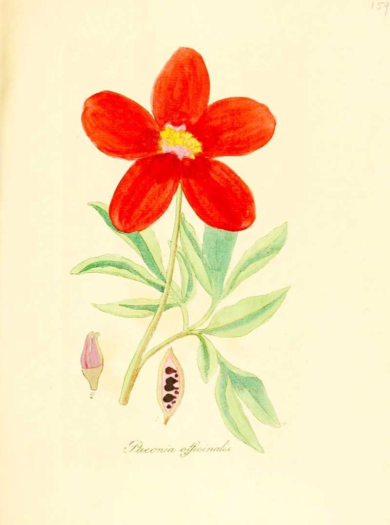 Common Peony - Flora_medica Free Printable