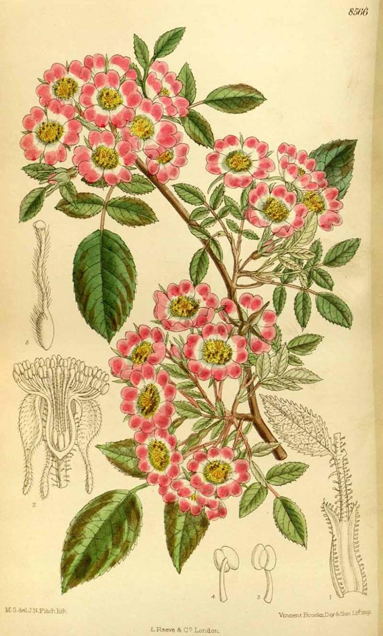Rosa corymbulosa 1914 Free Printable