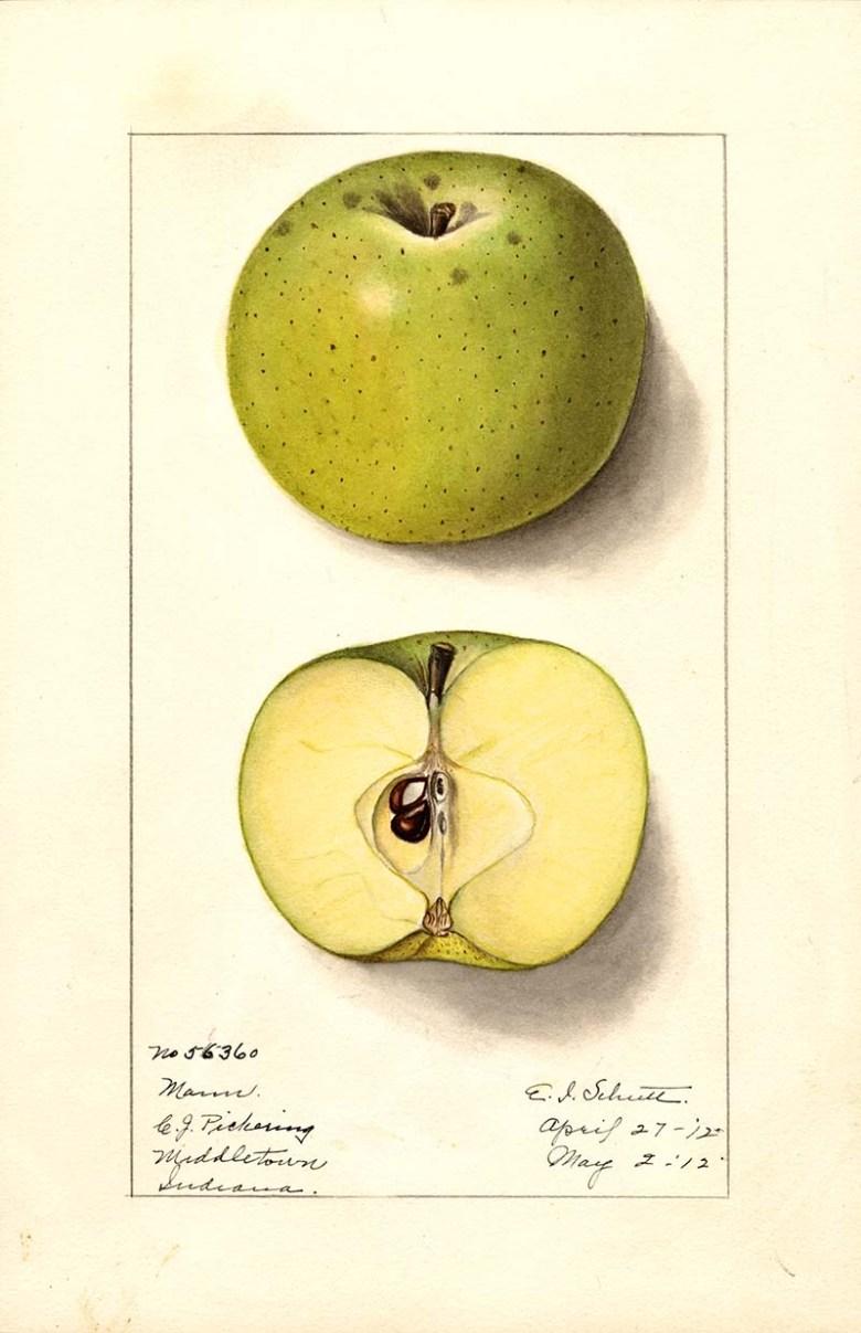 Mann variety of apple